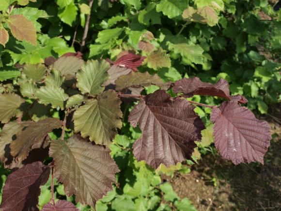Как правильно выращивать фундук в подмосковье?
