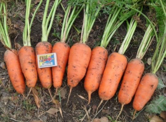Морковь абледо f1: описание, фото, отзывы