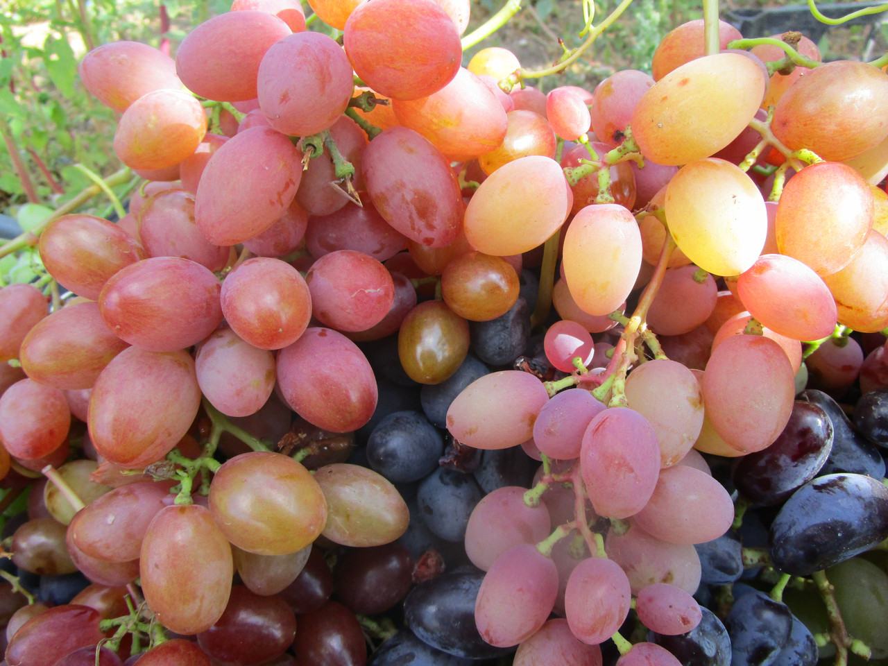 Лучшие сорта винограда в 2020 году: самые урожайные