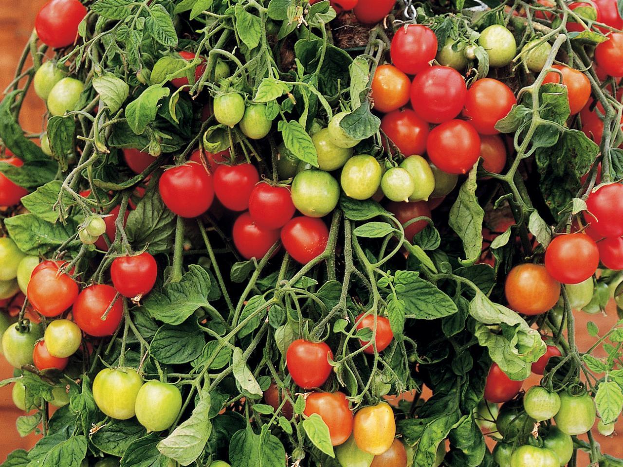 Лучшие сорта черных помидор и все их особенности. полезная информация