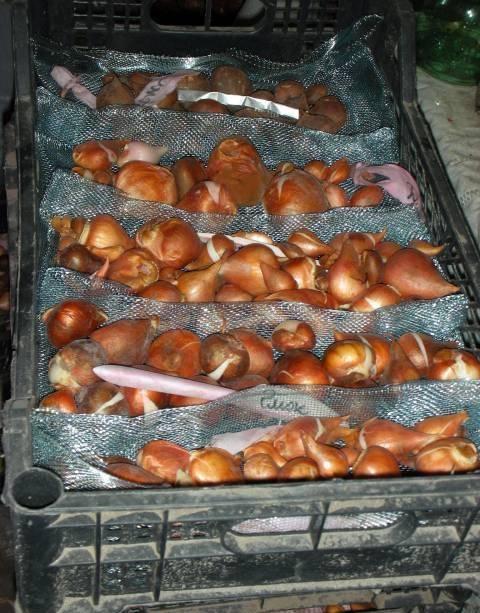 Правила хранения и посадки луковиц тюльпанов в домашних условиях 2021 года