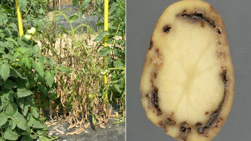 Фузариоз картофеля: описание болезни с фото, методы борьбы и устойчивые к фузариозу сорта
