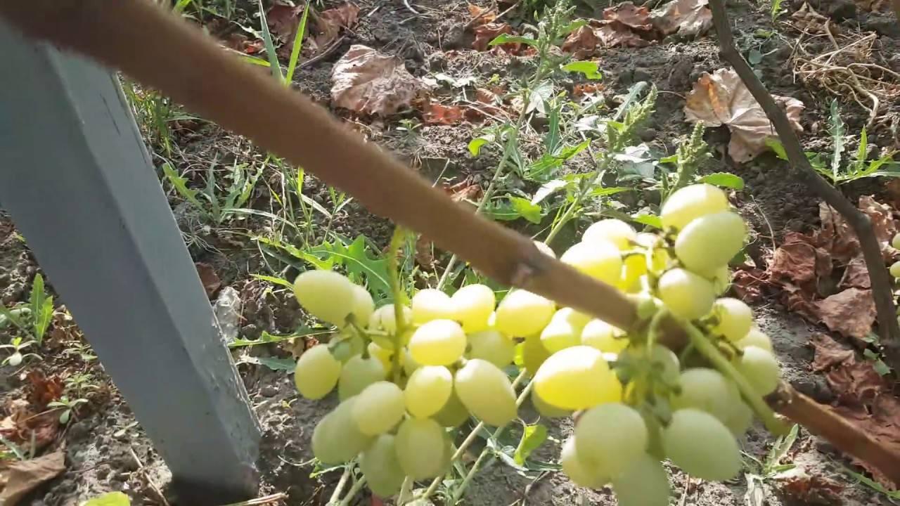Виноград байконур: особенности посадки, уход за саженцами