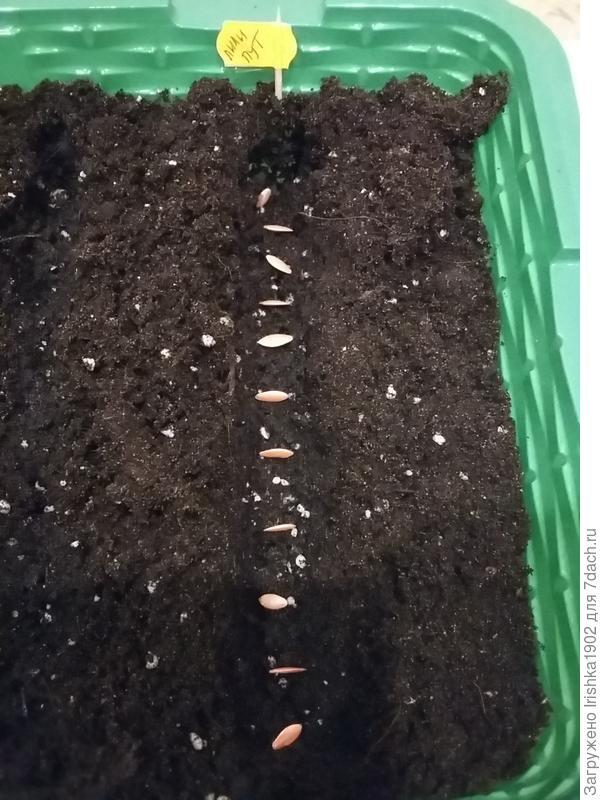 Сажаем правильно огурцы в открытый грунт | вырасти сад!
