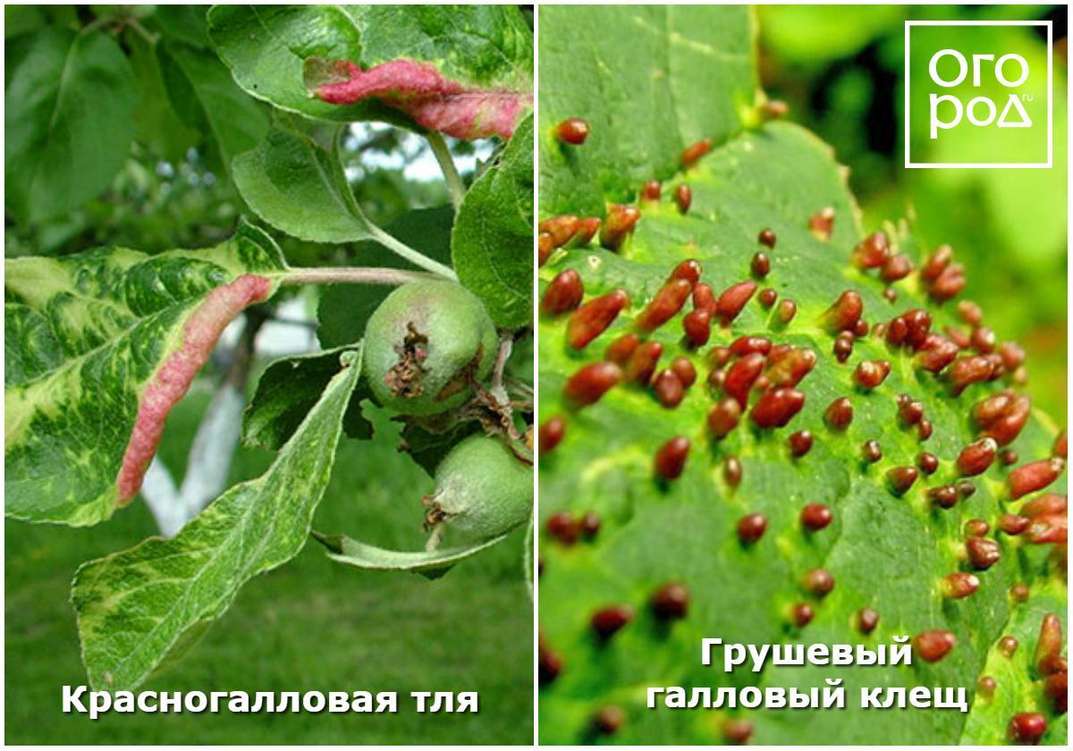 Галловый клещ – как выглядят галлы, из-за чего появляются, чем опасны, как защитить грушу, липу и другие деревья от вредителя