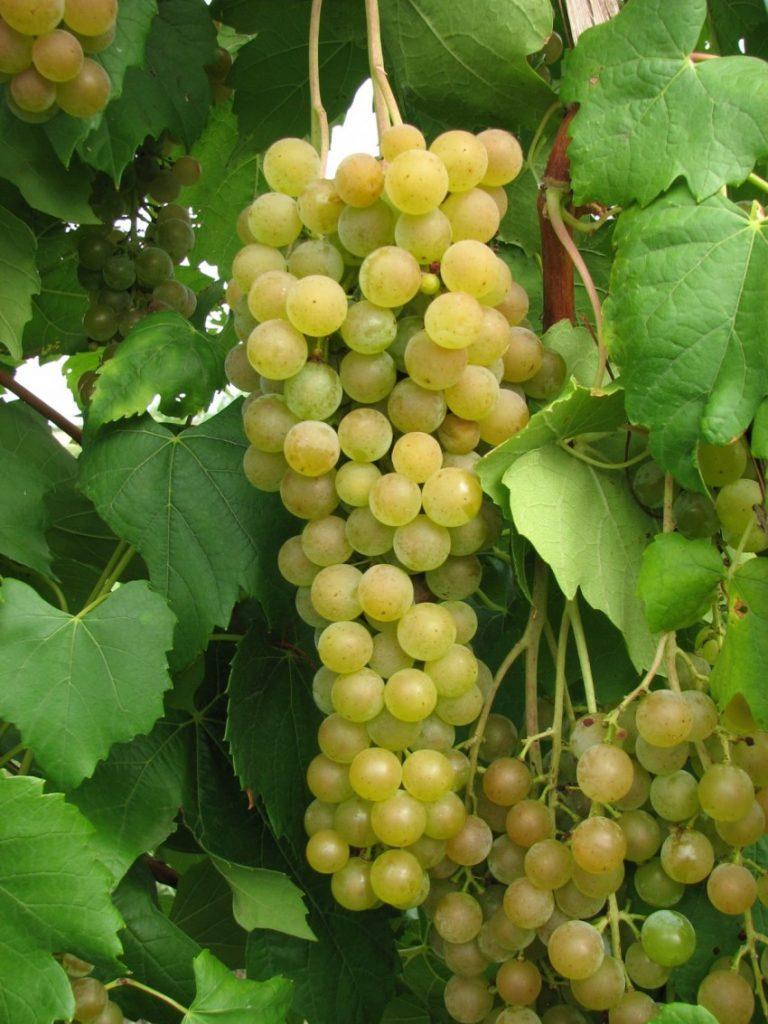 Лучшие мускатные сорта винограда - сад и огород