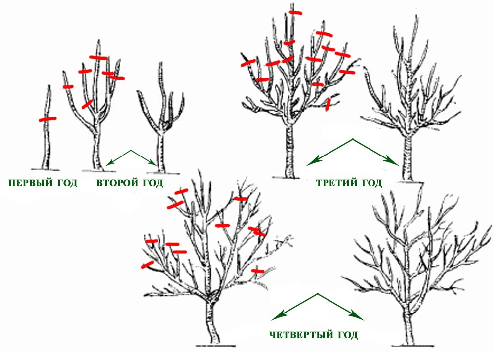 Миндаль декоративный: условия выращивания и уход в средней полосе