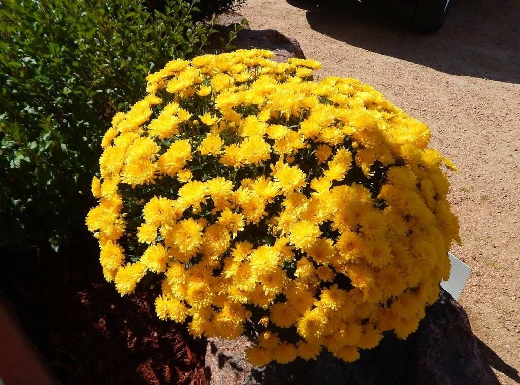 Хризантемы — посадка и уход в открытом грунте, пересадка осенью на другое место ?