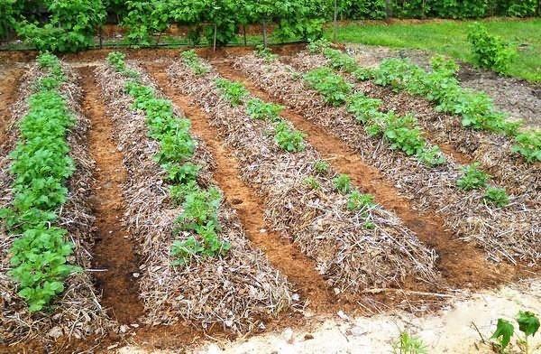 Мульча: что это такое и как ее приготовить? как правильно мульчировать почву