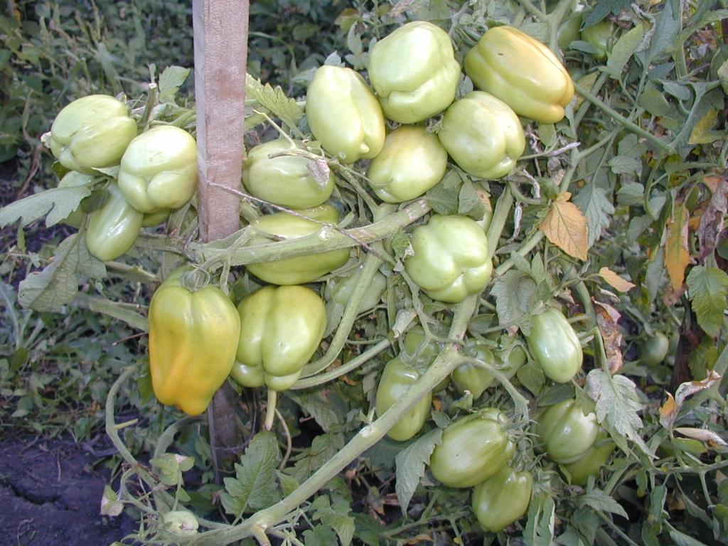 """Томат """"каспар"""" f1: описание сорта, характеристики урожайности, рекомендации по выращиванию отличных помидор русский фермер"""