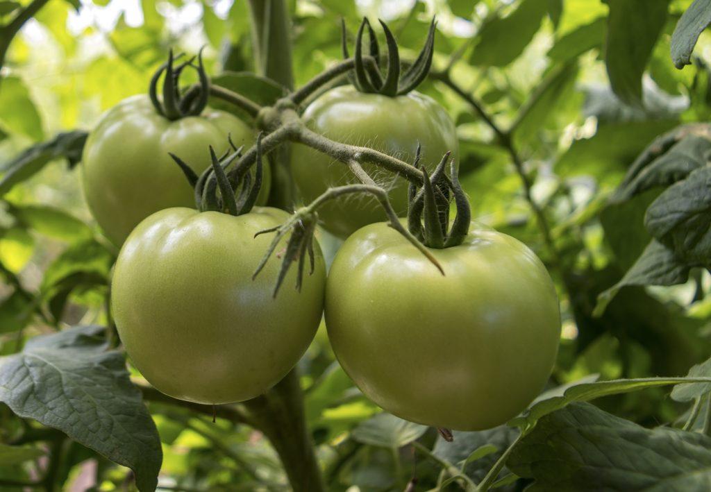 Томат лабрадор: описание и характеристика сорта, фото, отзывы, урожайность