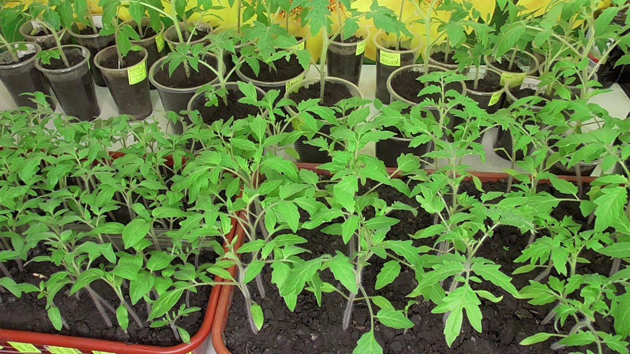 Пикировка рассады томатов в 2021 году: сроки, правила, уход после процедуры