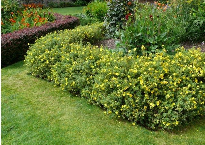 Кустарники для бордюра низкорослые, цветущие для дачи, миксбордер