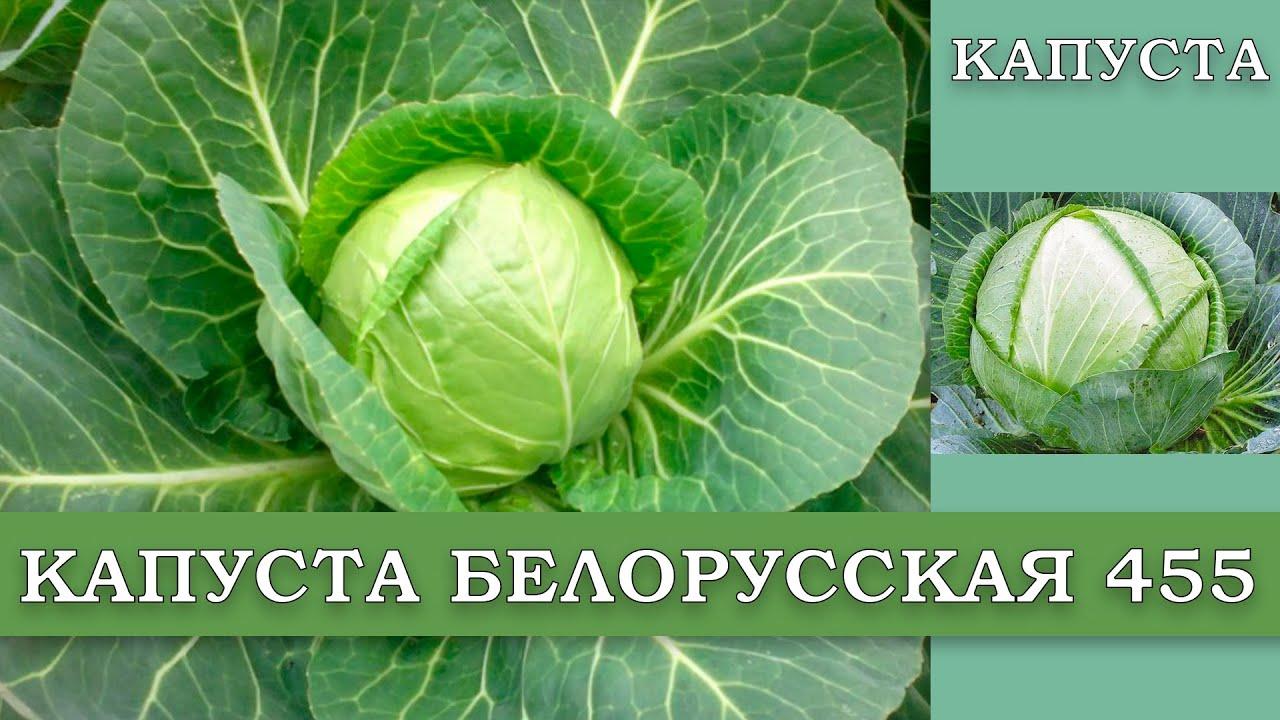 Капуста белорусская: описание сорта, фото, характеристика, отзывы, урожайность, достоинства и недостатки, особенности выращивания
