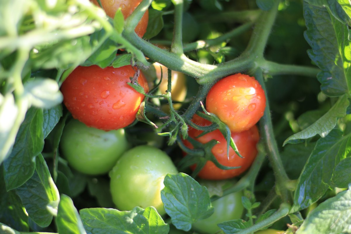 Томат санька — 110 фото основных характеристик и секреты ухода за томатами сорта санька