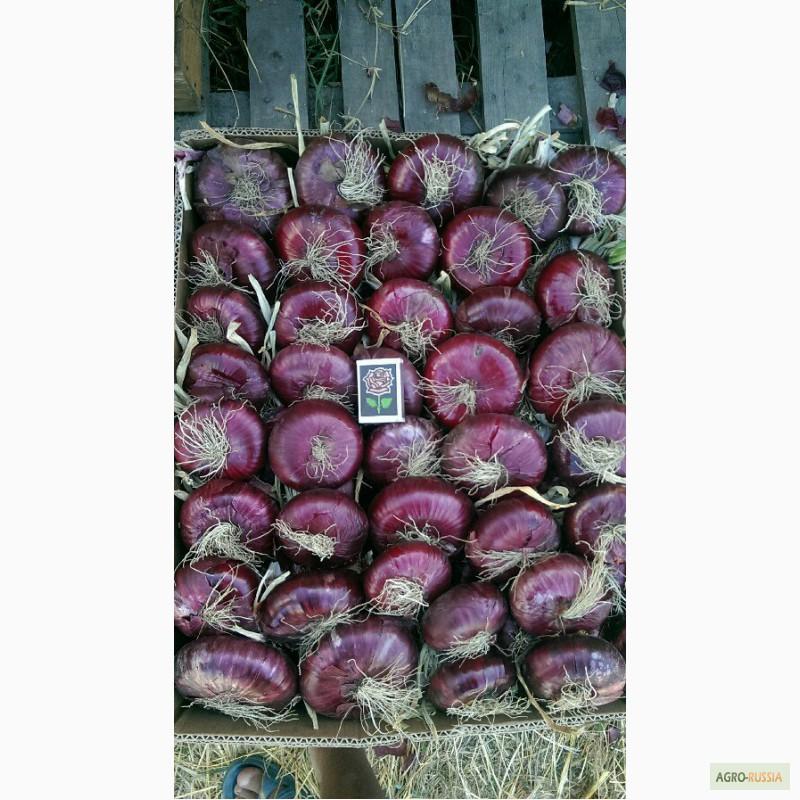 Крымский лук: выращивание в средней полосе и как хранить