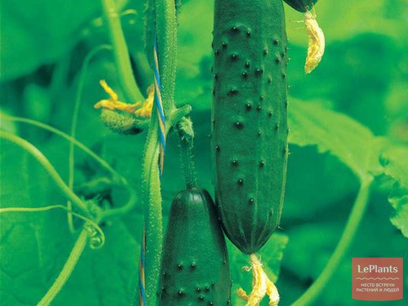 Огурец драгун: характеристика и описание сорта с фото
