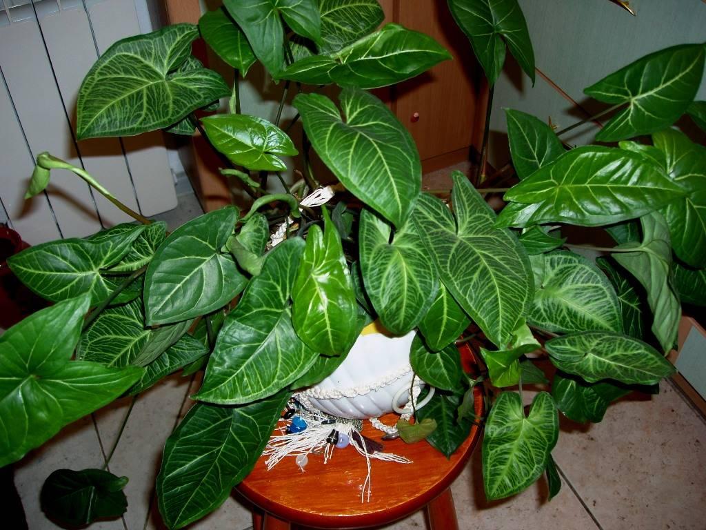 Комнатное растение сингониум (44 фото): ножколистный, вендланда, ушковатый, виды, уход в домашних условиях, размножение
