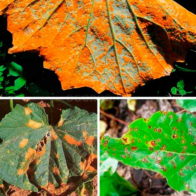Почему у ревеня краснеют листья: болезни и вредители и как от них избавиться