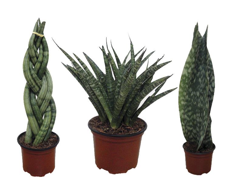 Выращивание сансевиерии ханни фаворит, сильвер, блэк: как посадить, ухаживать