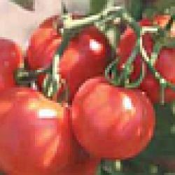✅ о томате слот: правила посадки, выращивания, ухода, размножения - tehnomir32.ru