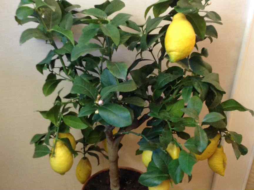 Выращивание комнатного лимона: нюансы и советы специалистов
