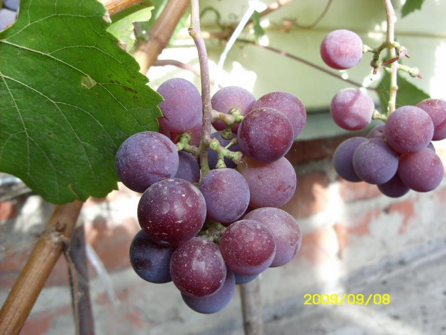 Настоящий клад для фермера — виноград сорта «фиолетовый ранний»