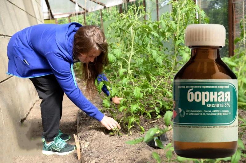 Как обработать борной кислотой клубнику, огурцы, помидоры для завязи: как разводить и опрыскивать растения борной кислотой