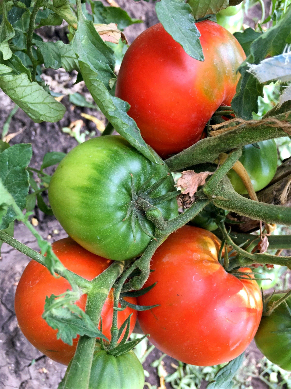 Лучшие сорта томатов для сибири и урала | tomatland.ru