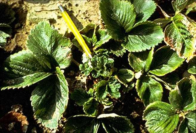 Скручиваются листья у клубники — как скручиваются листья и почему это происходит (140 фото)