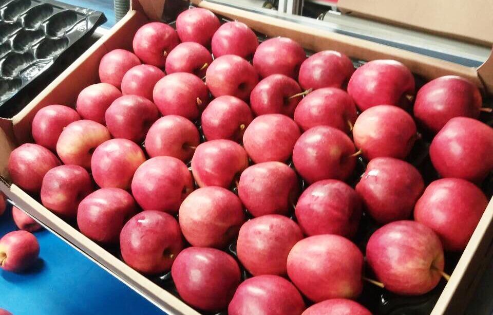 Описание и разновидности яблонь сорта Гала, посадка и уход в открытом грунте