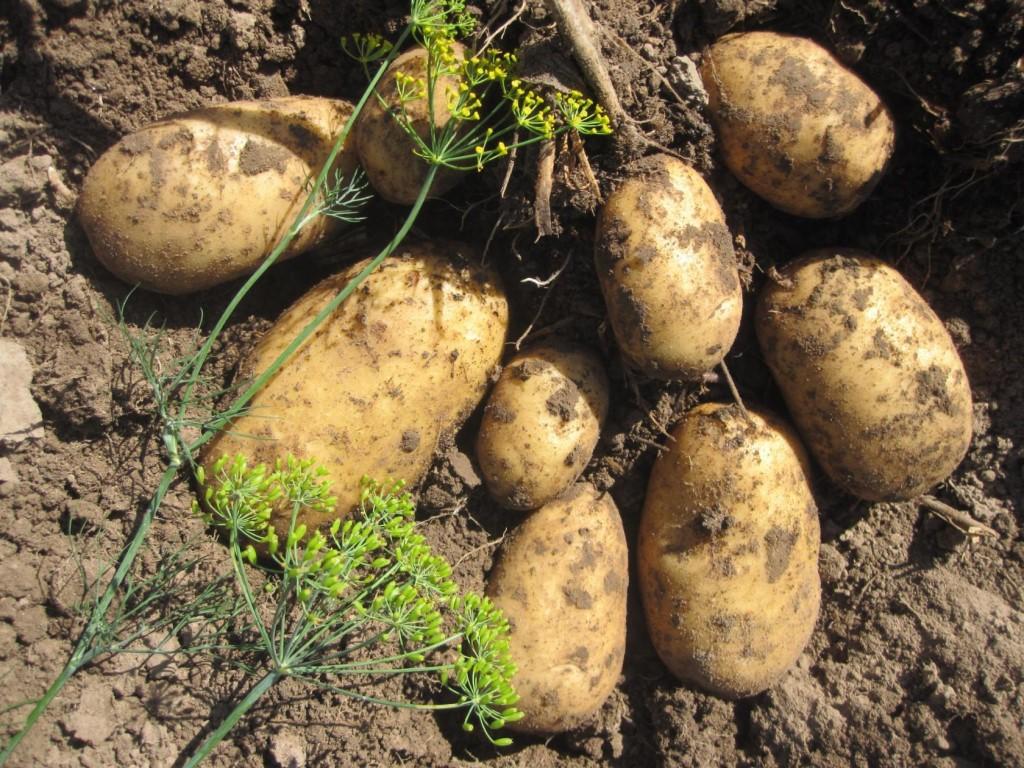Ранний картофель сорта сорокодневка весна