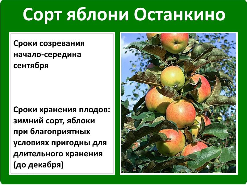 Яблоня малюха: выращивание колоновидного сорта, описание, фото