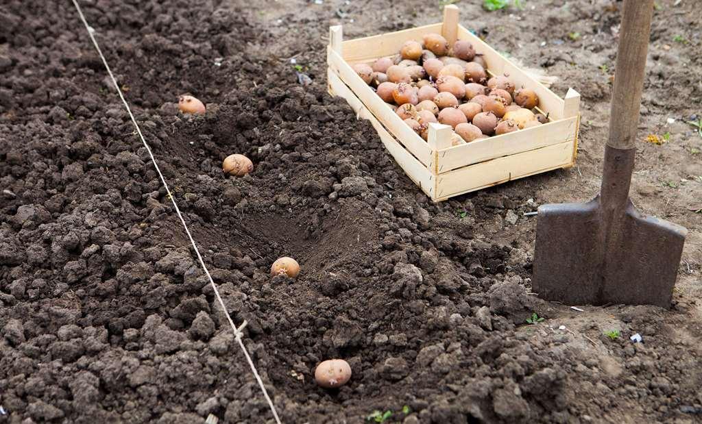 Выращивание инжира в открытом грунте: посадка, уход, размножение, фото, сорта
