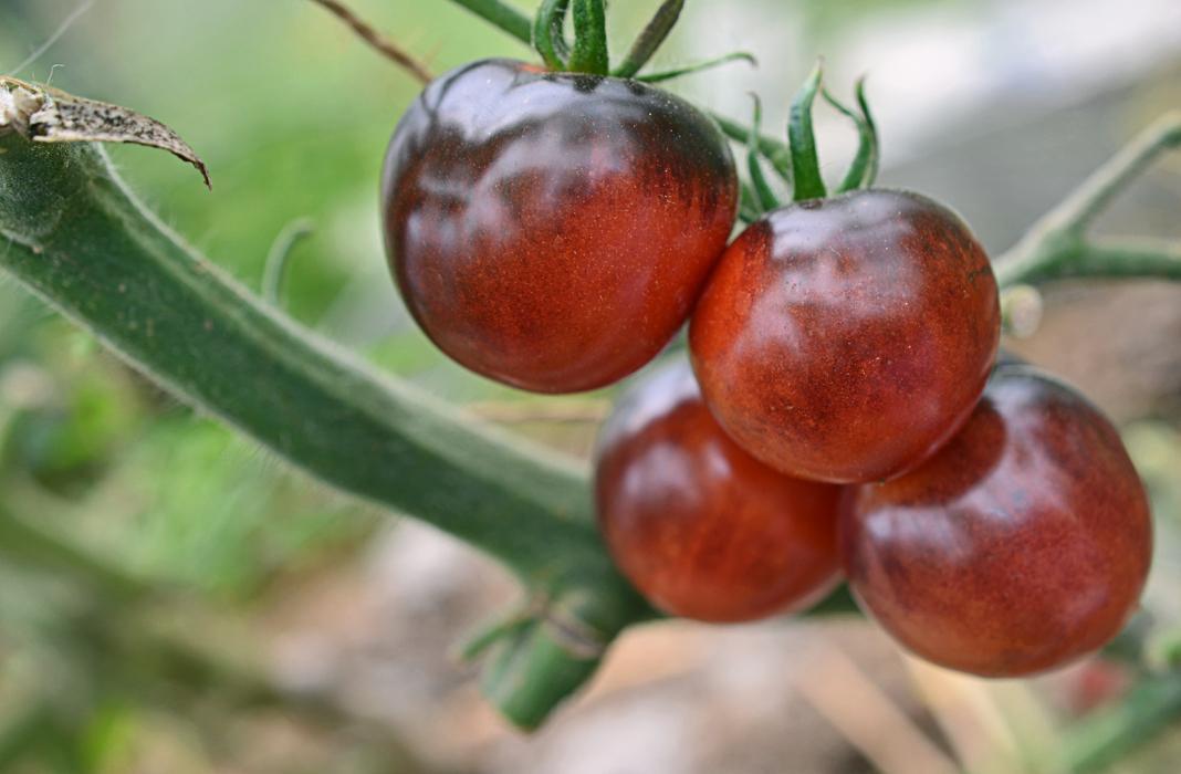 Томата каспар: урожайность сорта и советы по выращиванию