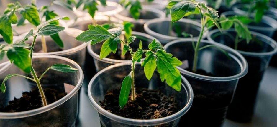 Сроки посева томатов на рассаду в подмосковье: когда сажать