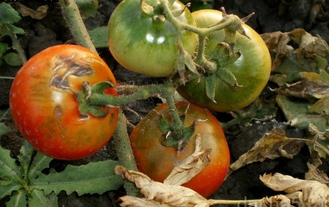 Почему чернеют помидоры в теплице: снизу, полностью, причины, лечение, профилактика, фото, видео