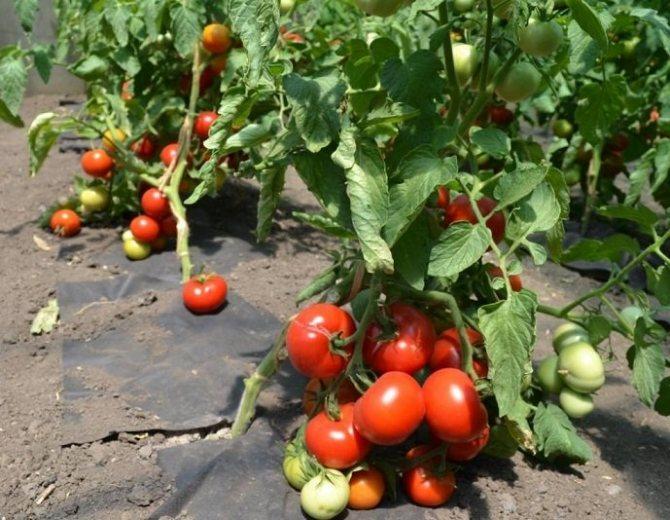 Томат катюша: описание сорта и 9 правил выращивания