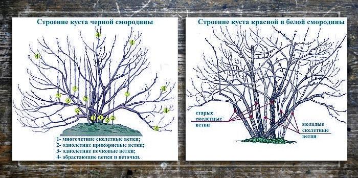Как восстановить кусты смородины - ogorod.guru