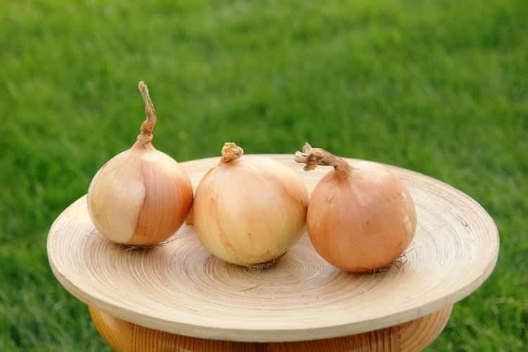 Описание репчатого лука Кэнди и правила выращивания сорта
