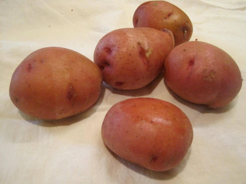 Описание и характеристики картофеля сорта Ирбитский, посадка и уход