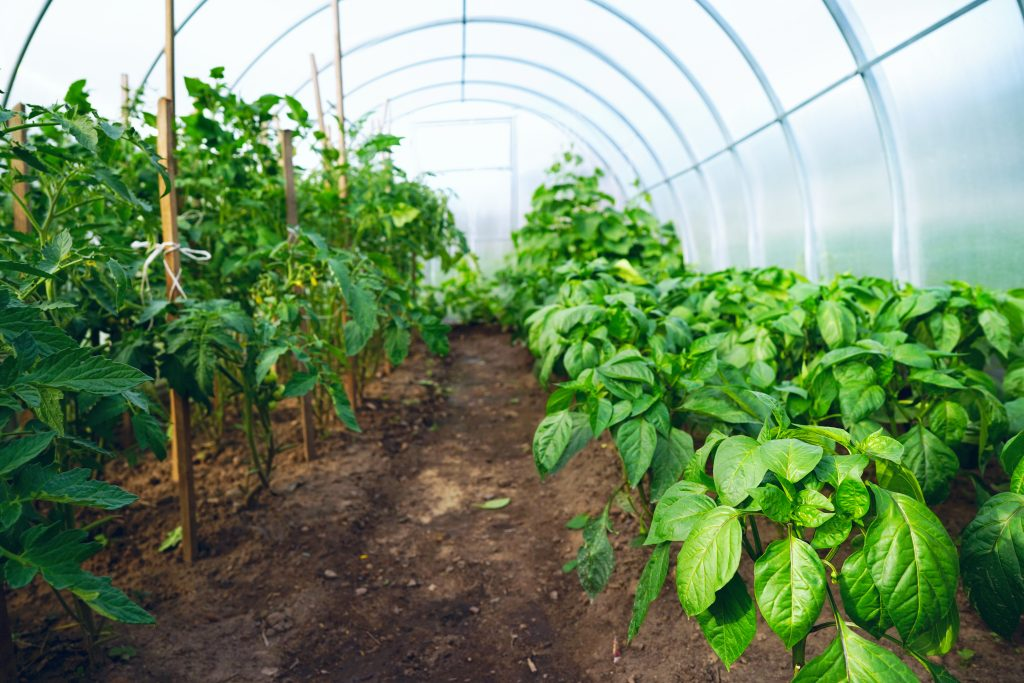 Огурцы и помидоры в одной теплице - огурцы и помидоры, и перцы досадить: можно ли сажать вместе, какая совместимость? русский фермер