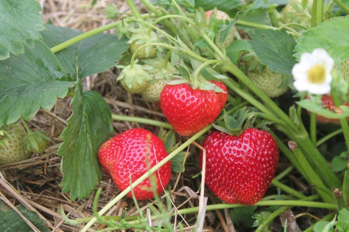 Клубника гигантелла: описание сорта, фото, отзывы садоводов