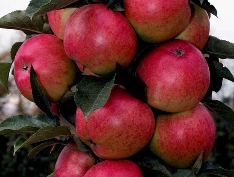 Колонновидные сорта яблонь для подмосковья: от червонца до валюты