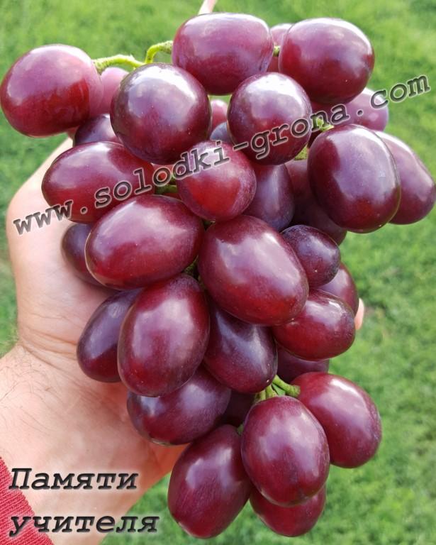 Виноград памяти учителя - описание сорта, фото, отзывы