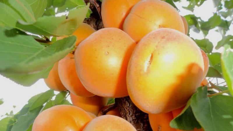 """Зимние сорта абрикоса - отвечаем на вопросы дачников - журнал """"совхозик"""""""