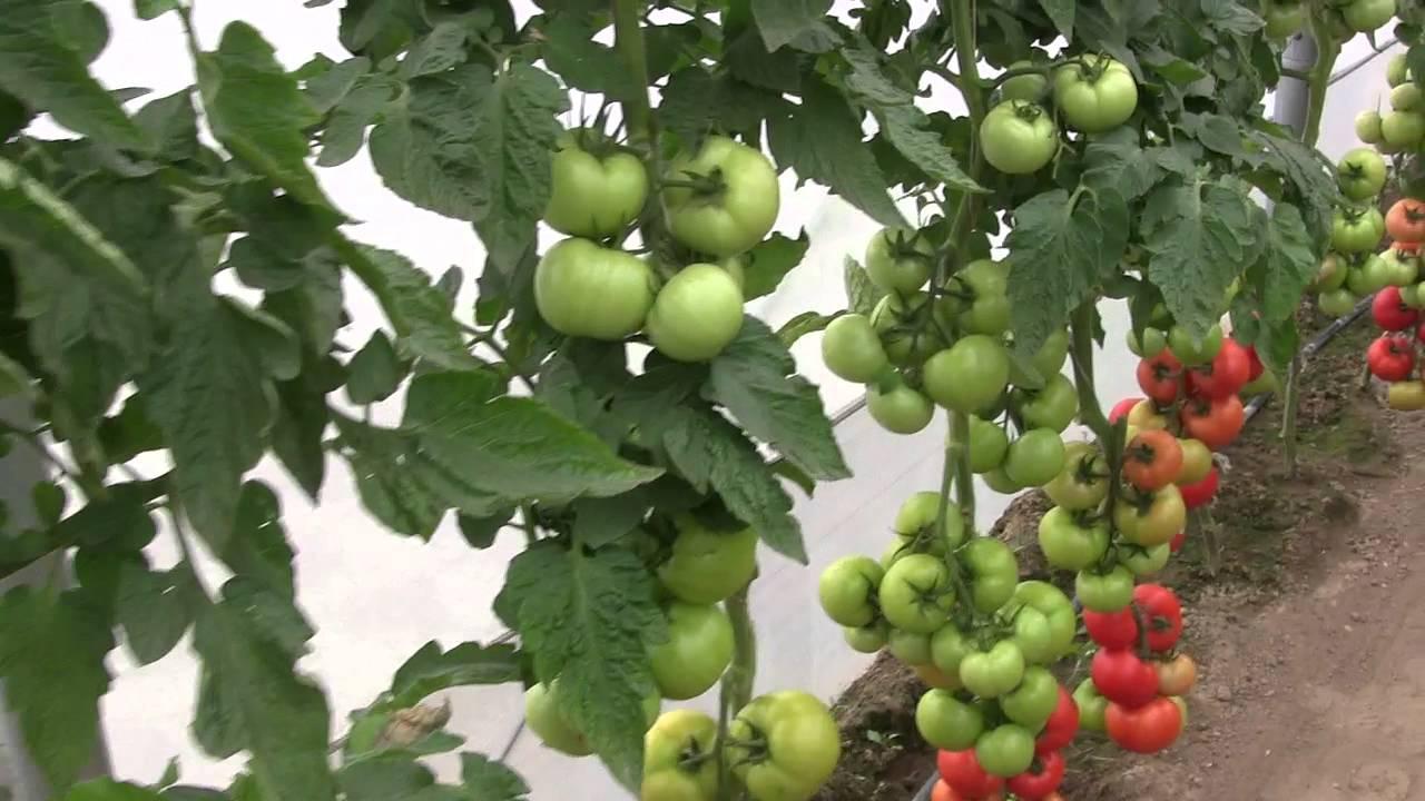 Описание томата Фараон и правила выращивания гибрида рассадным способом