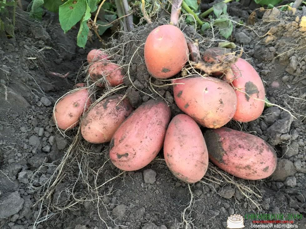 Чародей картофель – описание сорта и отзывы + видео