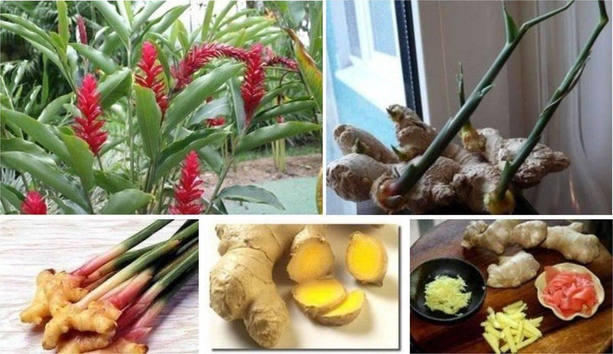 Как правильно выращивать имбирь дома: на подоконнике и в открытом грунте