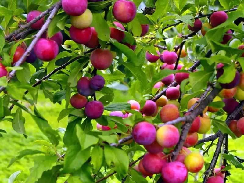 Заставляем сливу цвести и плодоносить